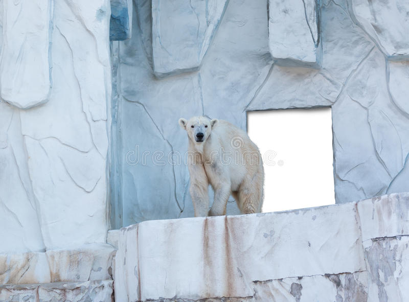 Polar bear standing with white board at behind. royalty free stock photo