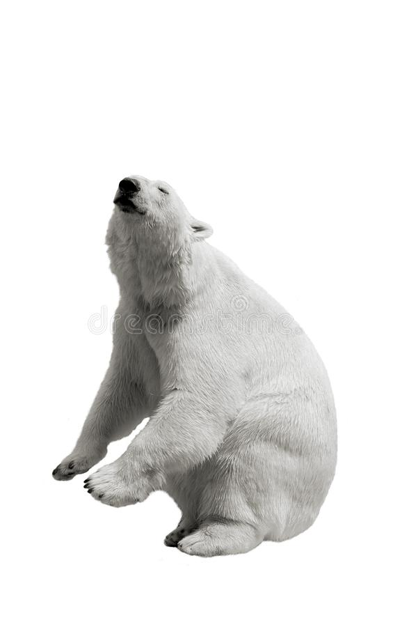 The polar bear stands on its hind legs and asks for food on a white isolated stock photo