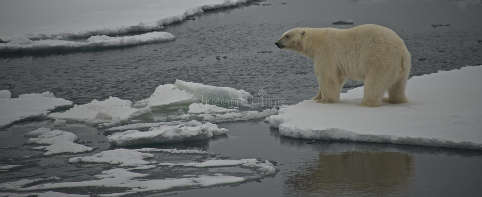 Polar bear staring over water in Arctic stock photo