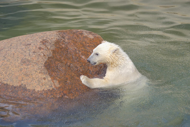 Download Polar Bear Struggles For His Life Stock Image - Image: 14804619