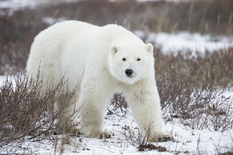 Polar Bear in Sub Arctic on Hudson Bay Manitoba. Adult Polar Bear in Sub Arctic on Hudson Bay Manitoba near Frazier River stock images