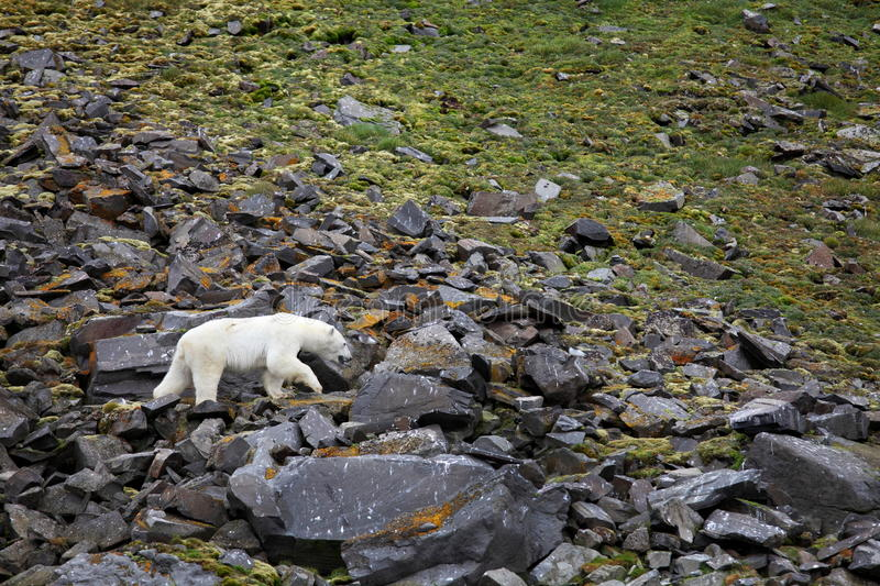 Polar bear in summer Arctic royalty free stock images