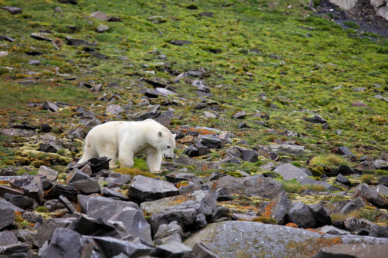 Polar bear in summer Arctic royalty free stock photos
