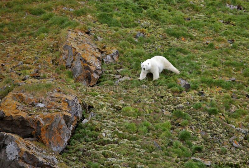 Polar bear in summer Arctic royalty free stock image
