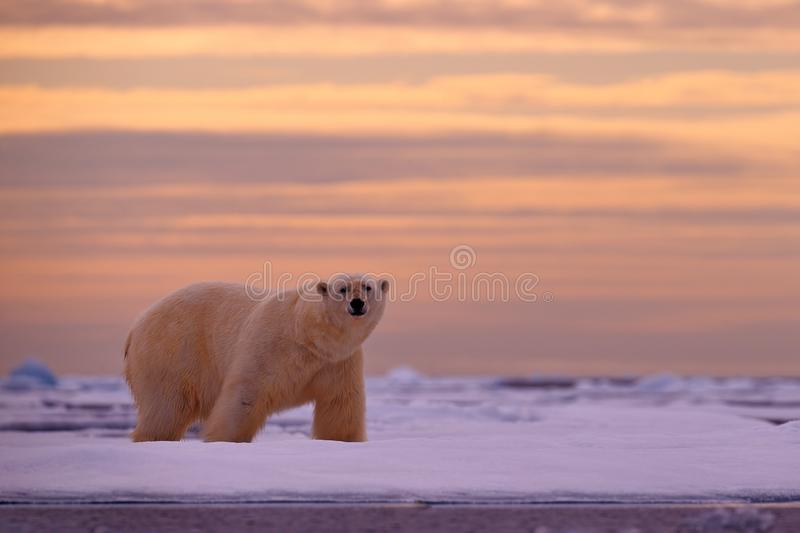 Polar bear sunset in the Arctic. Bear on the drifting ice with snow, with evening orange sun, Svalbard, Norway. Beautiful red sky. With danger animal, face stock photos