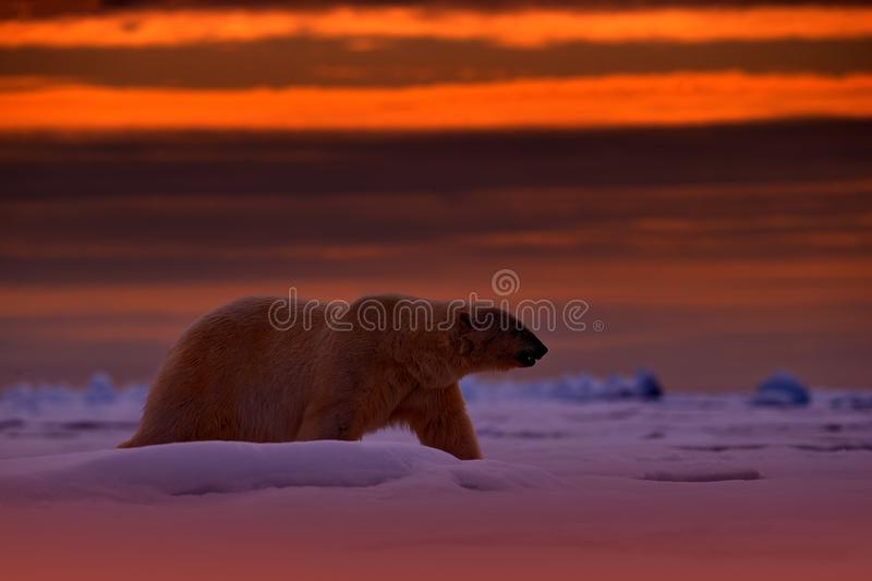 Polar bear sunset in the Arctic. Bear on the drifting ice with snow, with evening orange sun, Svalbard, Norway. Beautiful red sky. With danger animal, face royalty free stock photography