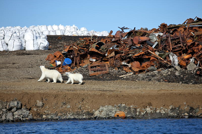 Polar bear survival in Arctic royalty free stock images