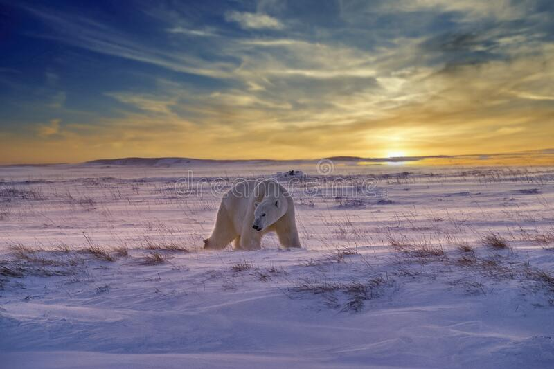 Polar bear at suunset in Canadian Arctci. Polar bear on Arctic snow at sunset royalty free stock images