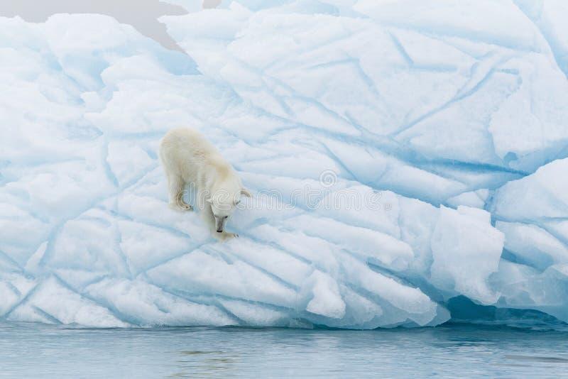 Polar Bear. At Svalbard islands stock photo