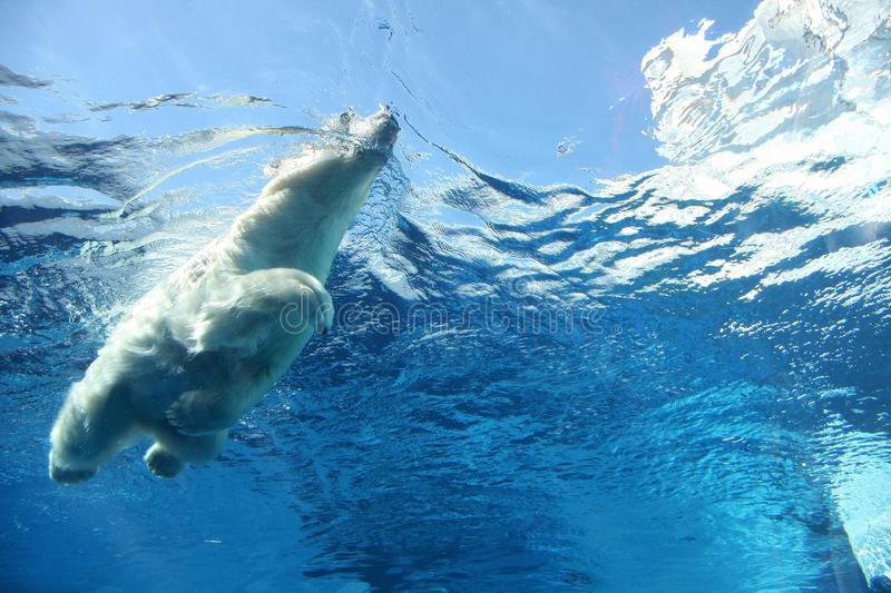 Polar bear swimming underwater blue. Underwater view of polar bear swimming in crystal sky blue water royalty free stock image