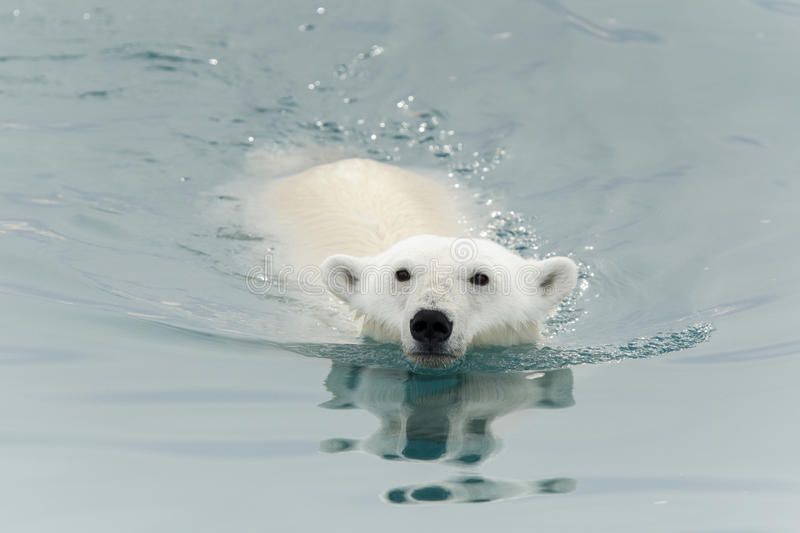Polar bear swimming in sea. Portrait of polar bear swimming in sea royalty free stock photography
