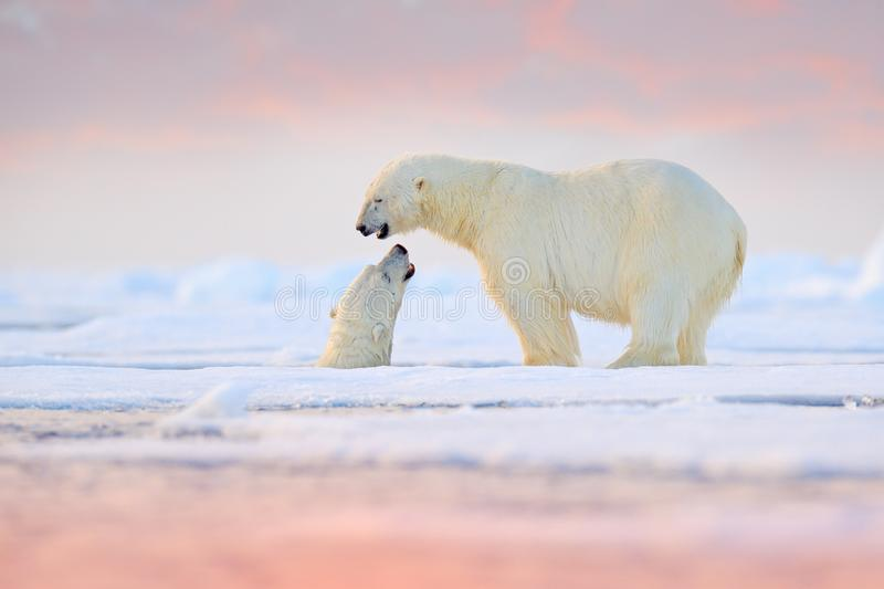 Polar bear swimming in water. Two bears playing on drifting ice with snow. White animals in the nature habitat, Alaska, Canada. Animals playing in snow, Arctic royalty free stock image