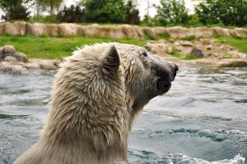 Polar bear swimming in a zoo. A polar bear swimming in a zoo in Rotterdam, Netherlands. Photo taken from behind a glass stock image