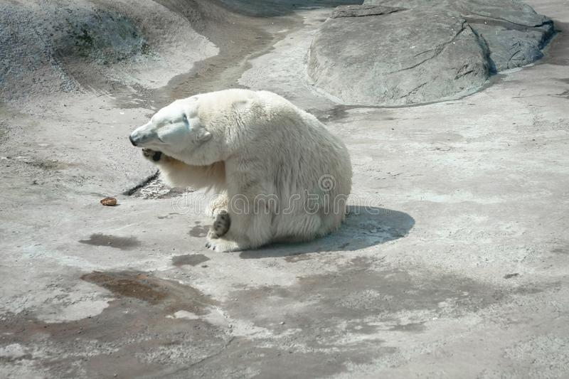 Polar bear. The polar bear & x28;Ursus maritimus& x29; is a carnivorous bear whose native range lies largely within the Arctic Circle royalty free stock photography