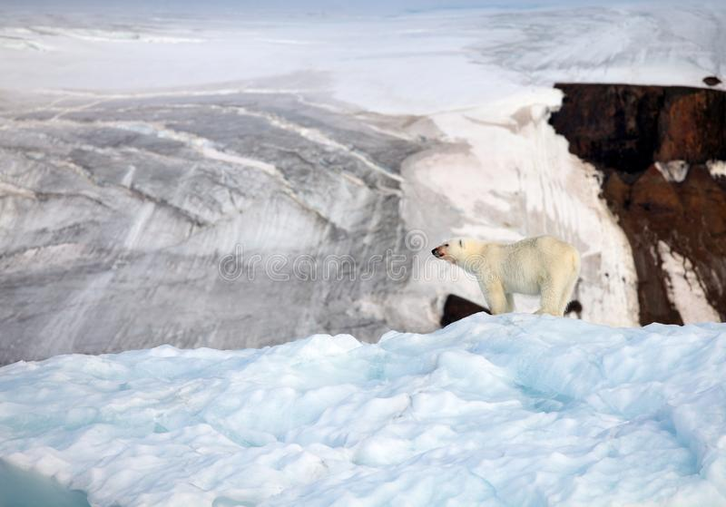 Polar bear on top of the iceberg stock photography
