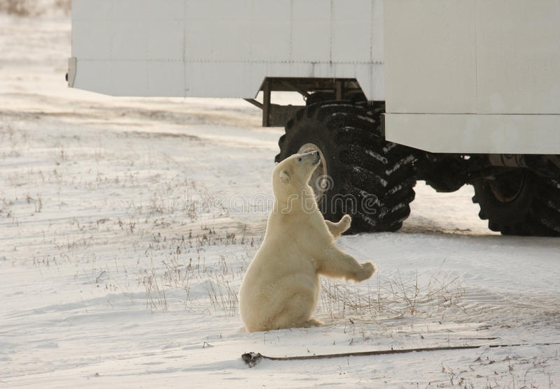 Polar bear and a tundra buggy royalty free stock image