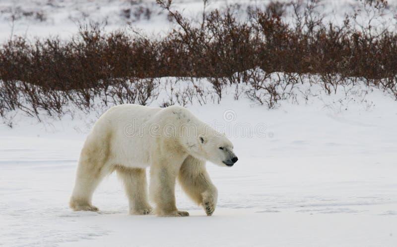 A polar bear on the tundra. Snow. Canada. royalty free stock images