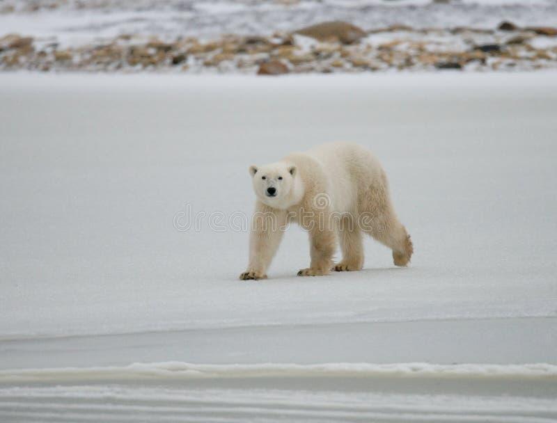 A polar bear on the tundra. Snow. Canada. royalty free stock image