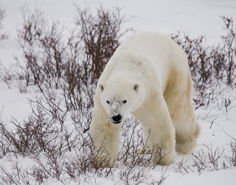 A polar bear on the tundra. Snow. Canada. royalty free stock photo