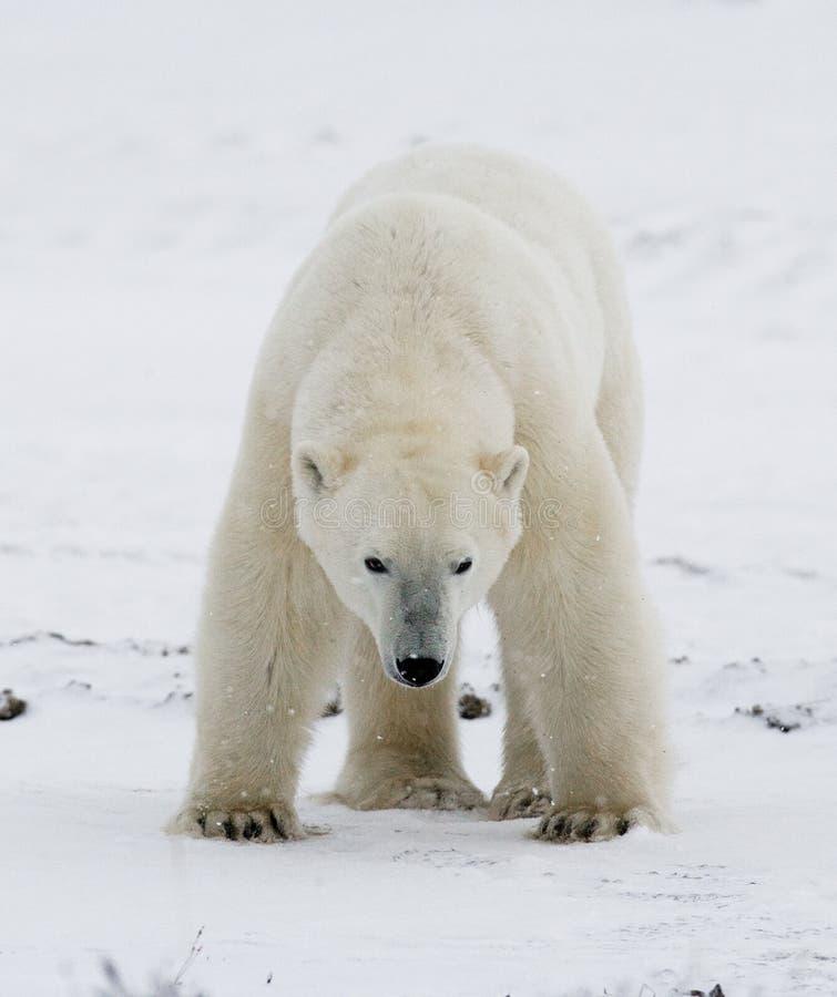 A polar bear on the tundra. Snow. Canada. An excellent illustration stock photography