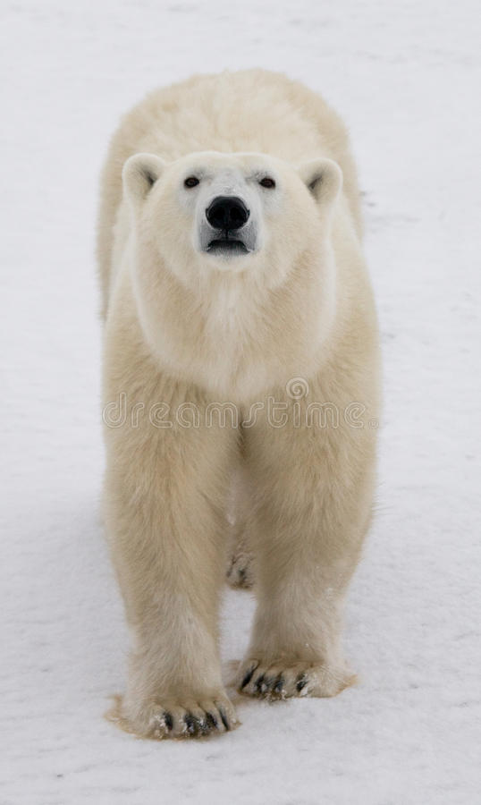A polar bear on the tundra. Snow. Canada. An excellent illustration stock photo