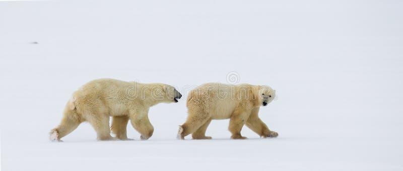A polar bear on the tundra. Snow. Canada. An excellent illustration royalty free stock photo