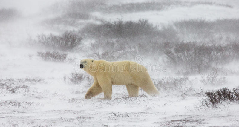 A polar bear on the tundra. Snow. Canada. stock image
