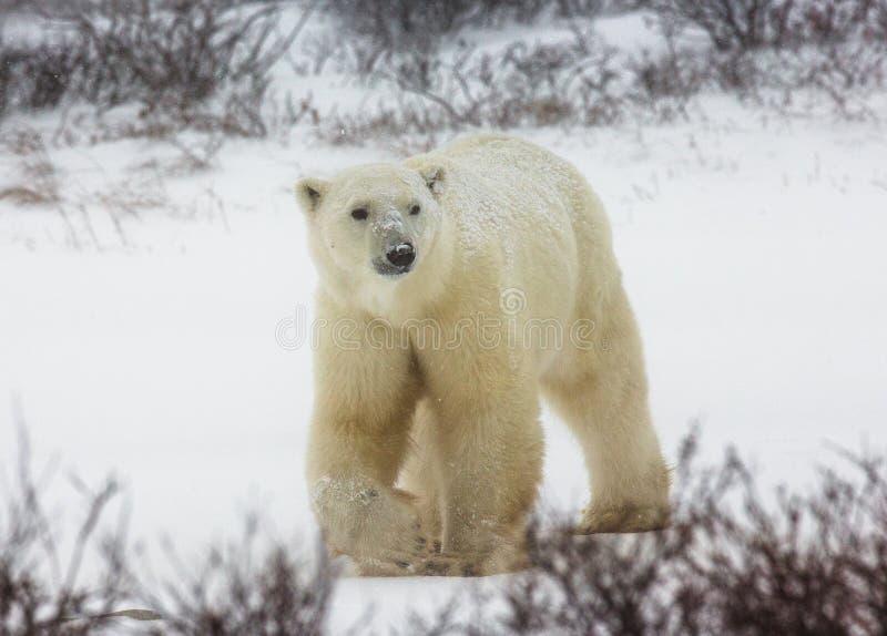 A polar bear on the tundra. Snow. Canada. An excellent illustration royalty free stock photos