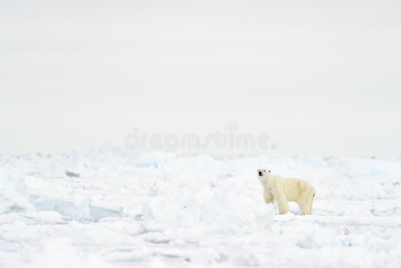 Polar Bear (Ursus maritimus) adult royalty free stock photo
