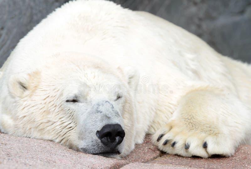 Polar bear ( Ursus maritimus ). Close up image stock images