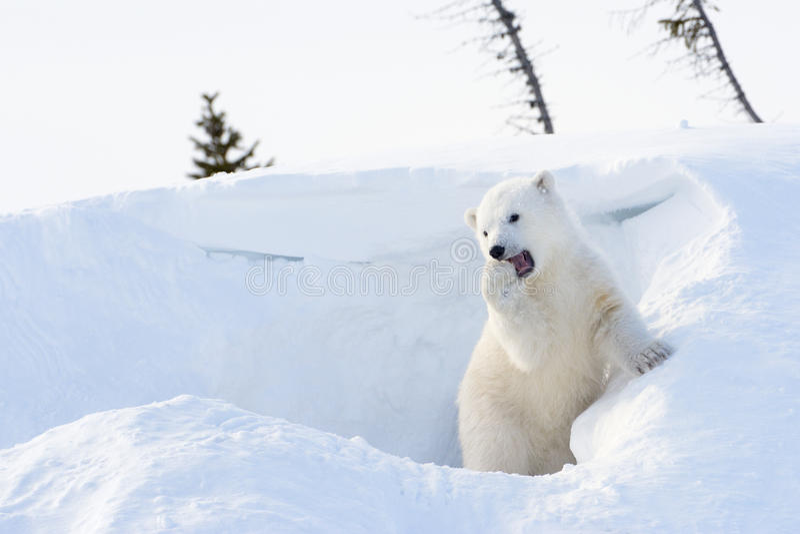 Polar bear (Ursus maritimus) cub coming out den royalty free stock photo
