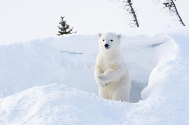 Polar bear (Ursus maritimus) cub. Coming out den and standing up looking around, Wapusk national park, Canada stock images