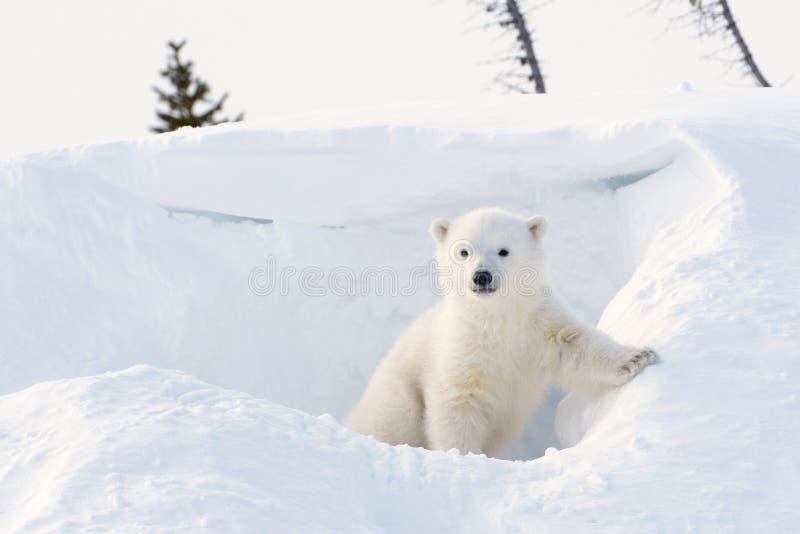 Polar bear (Ursus maritimus) cub. Coming out den, Wapusk national park, Canada royalty free stock image