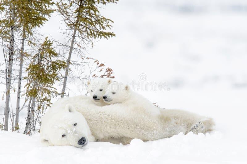 Polar bear Ursus maritimus with cubs. Polar bear mother Ursus maritimus with two cubs, Wapusk National Park, Manitoba, Canada royalty free stock image