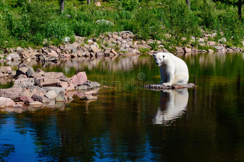 Polar bear (Ursus maritimus). Here seen in summertime with no ice to live on. Fur is wet with water from a recent swim. Water is clear and calm. Captive bear royalty free stock image