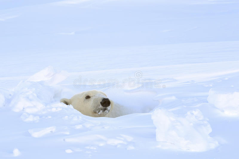 Polar bear (Ursus maritimus)looking out freshly opened den,. Polar bear (Ursus maritimus) mother looking out freshly opened den, Wapusk national park, Canada stock images