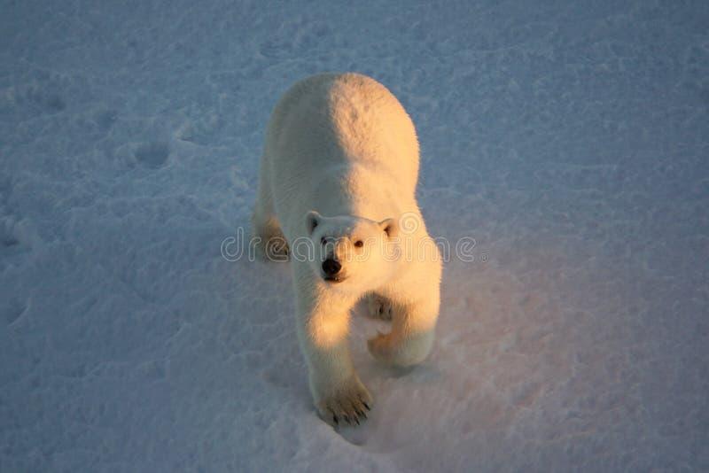 Polar bear, Ursus maritimus looking up from the Beaufort Sea. Polar bear or Ursus maritimus looking at camera royalty free stock photo