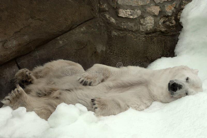 Polar bear ( Ursus maritimus ). In Moscow Zoo stock photo