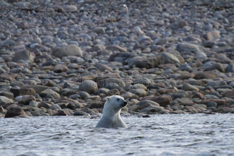 Polar Bear Ursus Maritimus playing in the arctic ocean of Arviat. Nunavut Canada stock images