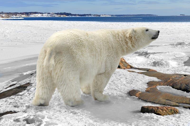 Polar bear Ursus maritimus on rocky coast of snow-covered island, Finland royalty free stock image