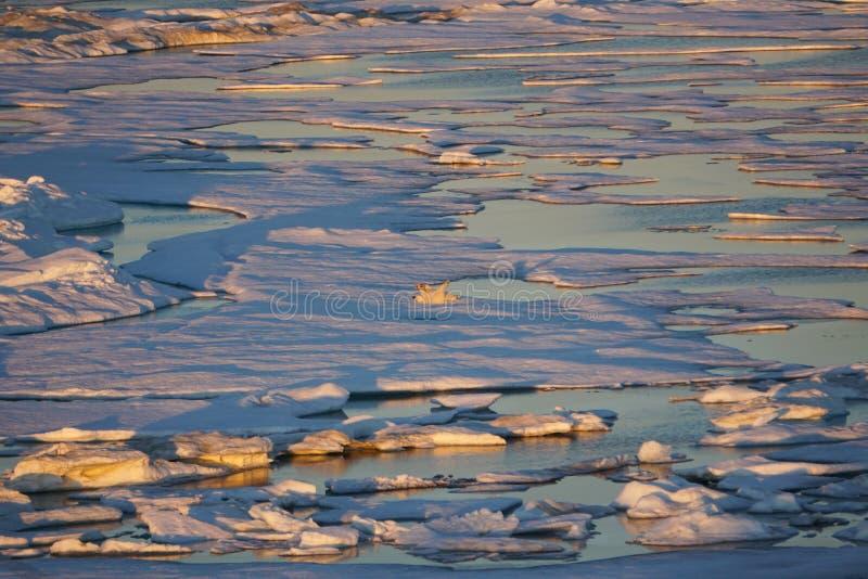 Polar bear, Ursus maritimus rolling on ice floe in Beaufort Sea. Polar bear or Ursus maritimus rolling in the ice stock photography