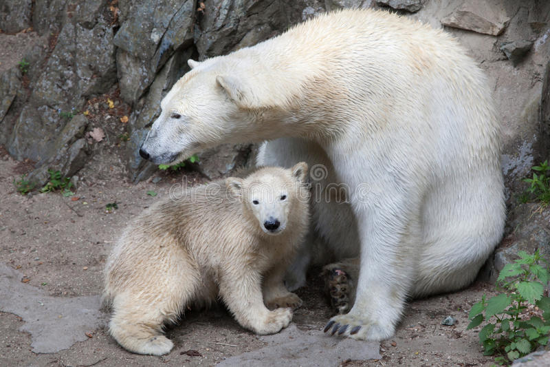 Polar bear Ursus maritimus. Six-month-old polar bear Ursus maritimus with its mother royalty free stock image