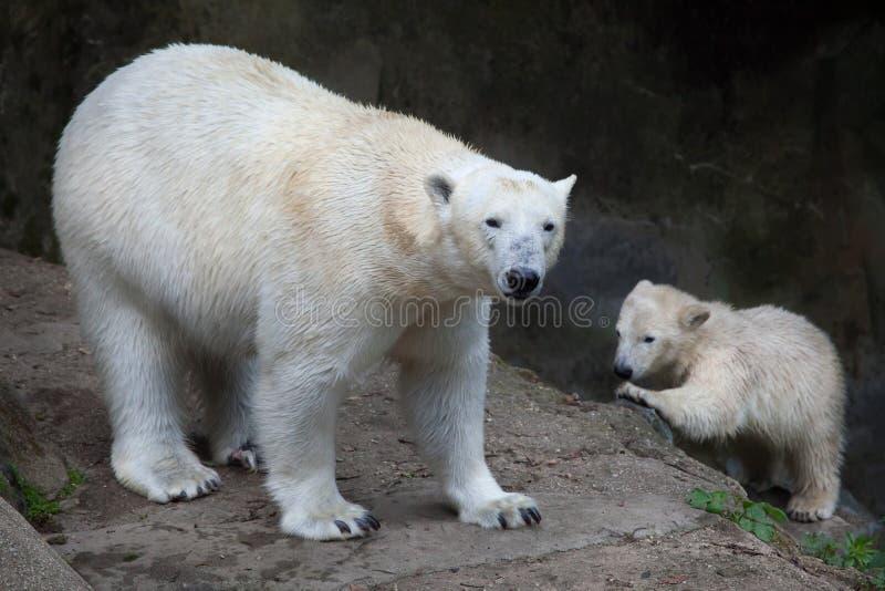 Polar bear Ursus maritimus. Six-month-old polar bear Ursus maritimus with its mother stock photos