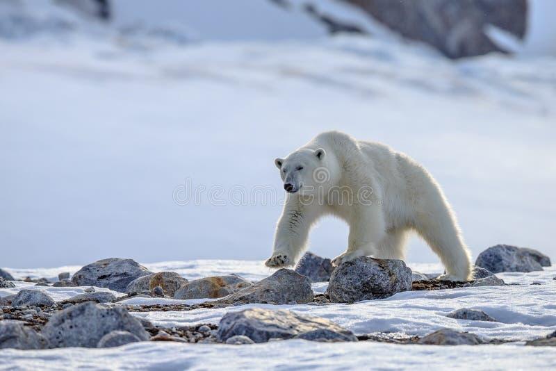 Polar Bear Ursus maritimus Spitsbergen North Ocean royalty free stock image