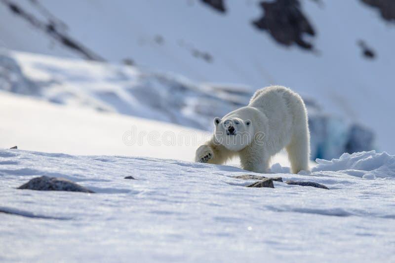 Polar Bear Ursus maritimus Spitsbergen North Ocean royalty free stock photo