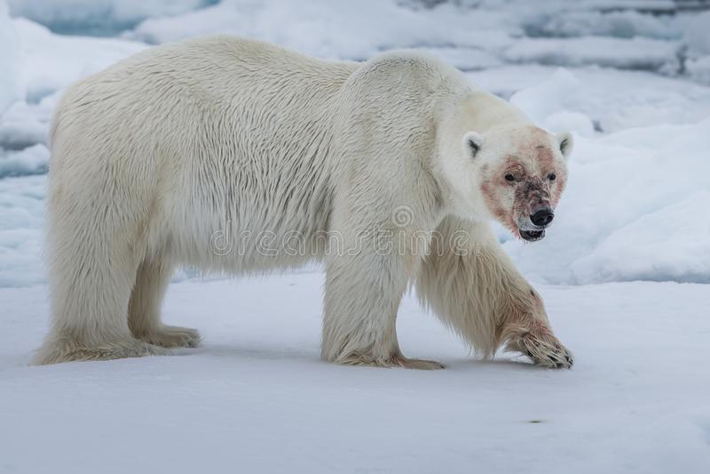 Polar Bear Ursus maritimus Spitsbergen North Ocean stock photography