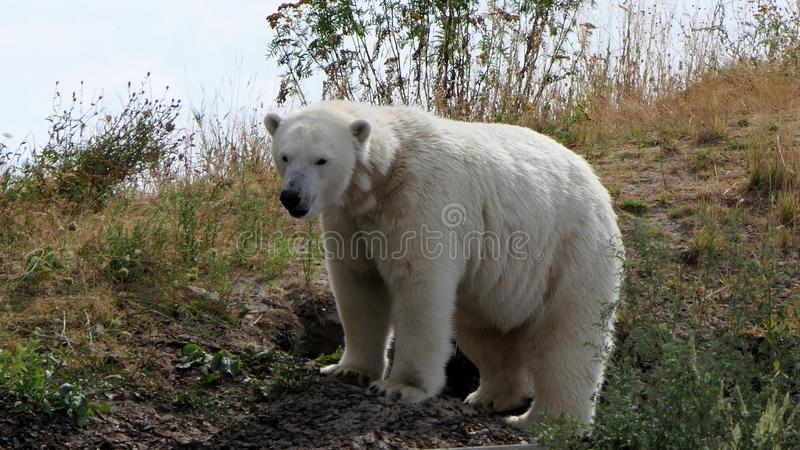 Polar bear, ursus maritimus on hill royalty free stock photo