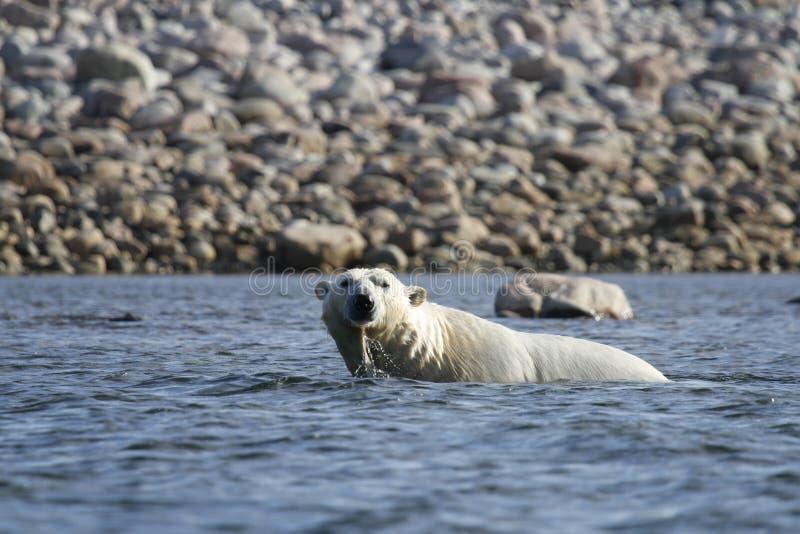 Polar Bear Ursus Maritimus swimming in the arctic ocean near Arviat. Polar Bear Ursus Maritimus playing in the arctic ocean near Arviat, Nunavut Canada royalty free stock photos