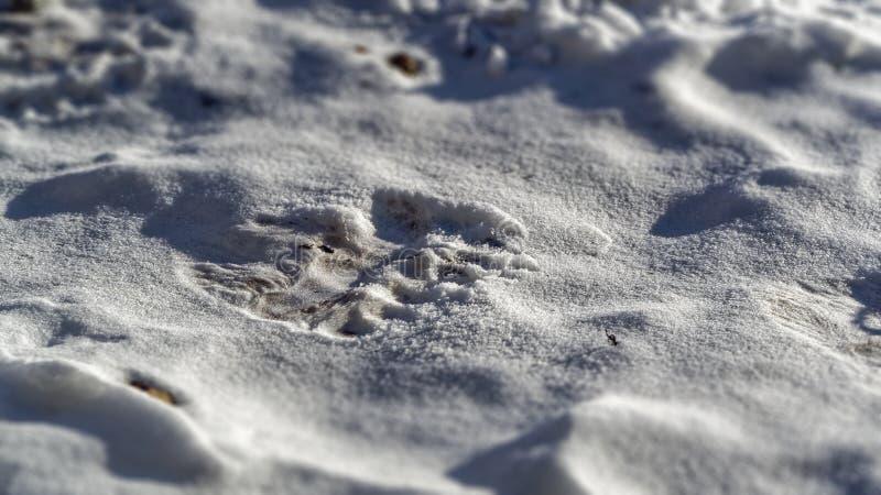 Polar bear (Ursus maritimus) tracks or footprint. In snow stock photography
