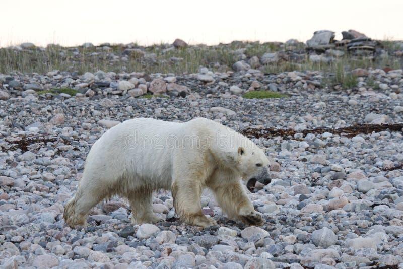 Polar Bear Ursus Maritimus walking along a rocky shoreline near Arviat, Nunavut. Canada stock photos